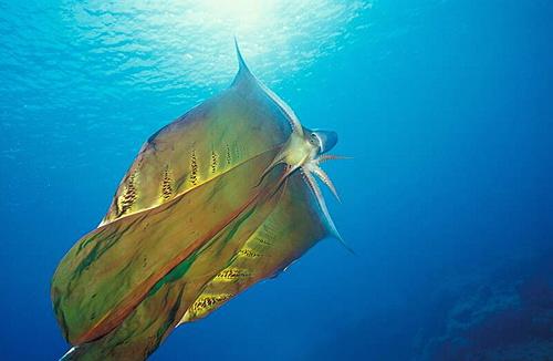 blanket-octopus