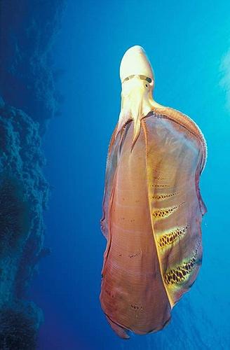 long-blanket-octopous