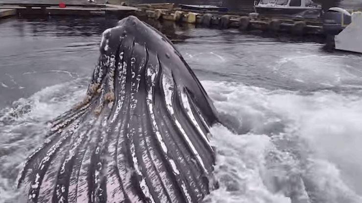Giant Humpback Whale