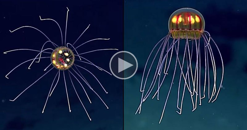 rare-and-mysterious-jellyfish-spotted-12000-ft-deep1