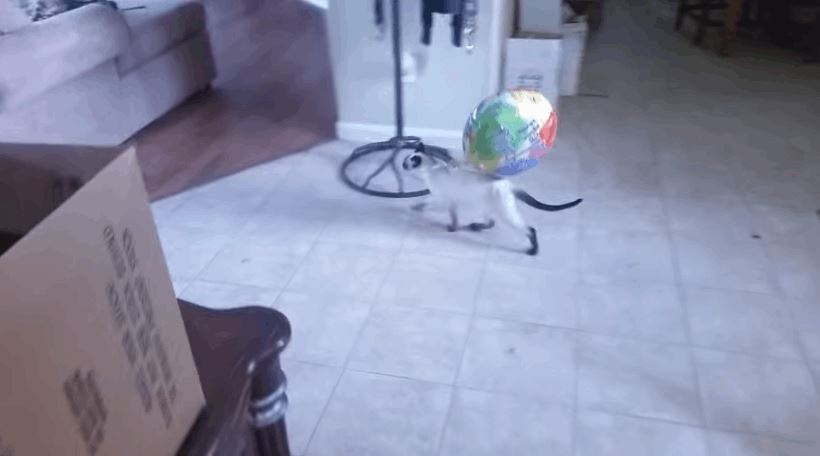 Siamese Kitten Carries Her New Balloon Around From Room to Room