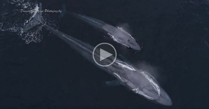 Drone Captures Blue Whale Mom and Calf Playing with Bottlenose Dolphins