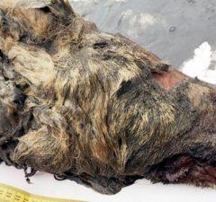 Ice Age Wolf