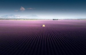 Lavender Field in Valensole, France