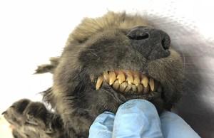 18,000-Year-Old 'Wolf-Dog' Puppy