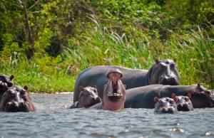 Pablo Escobar's Hippos