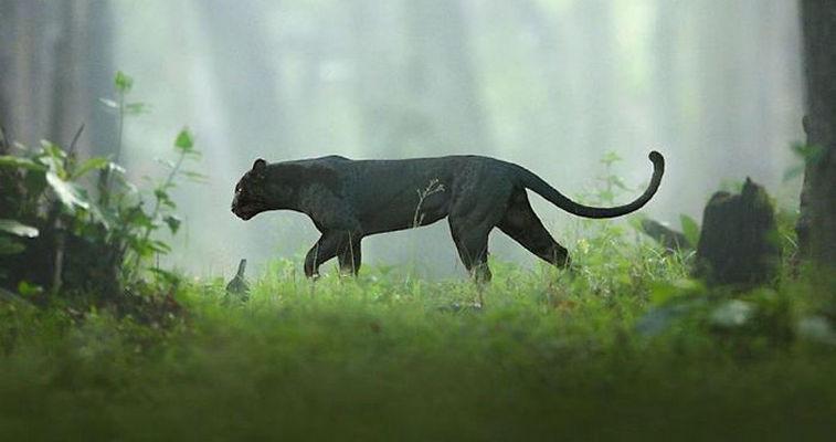 Rare Black Panther