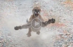Utah Man Chased by Cougar