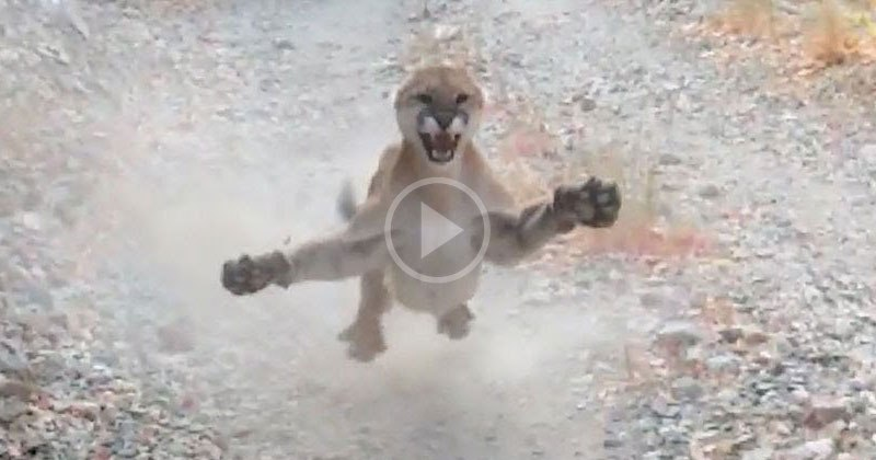 Utah Man Chased by Cougar