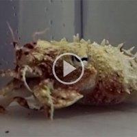 Shape-Shifting Pharaoh Cuttlefish Morph Into Hermit Crabs
