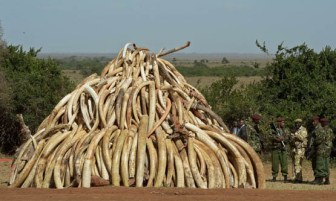 (FILES) - A March 3, 2015 file photo shows Kenya Wildlife Services (KWS) officers standing near a pile of 15 tonnes of elephant ivory seized in kenya at Nairobi National Park. Wildlife experts and officials from around 30 governments will gather on March 23, 2015 in Botswana to confront the threat that wild elephants could be heading for extinction, due in part to Chinese demand for ivory. AFP Photo/Carl de SouzaCARL DE SOUZA/AFP/Getty Images