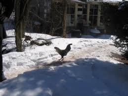 Rooster in the Snow
