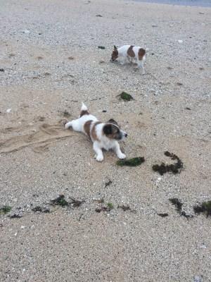 T-rex and Milo, resort's jack russel terriers