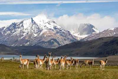 A heard of wild guanacos (Lama guanicoe) in the foothills of Torres del Paine, photographed on an Untamed Pumas of Patagonia Wildlife Photography Expedition