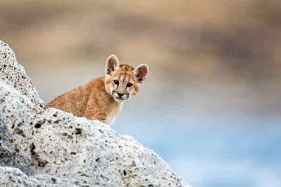 A puma cub (Puma concolor) amongst white rocks on a lake shore in Chile, photographed on an Untamed Pumas of Patagonia Wildlife Photography Expedition