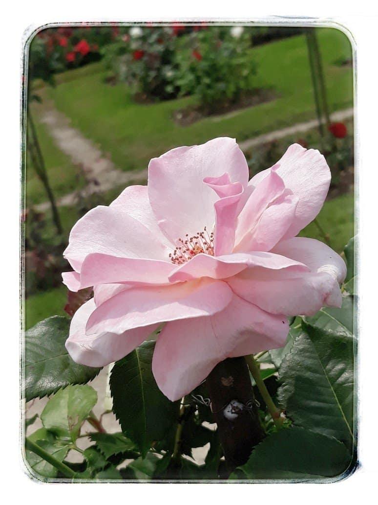 Eine Rose im Rosengarten Lörrach