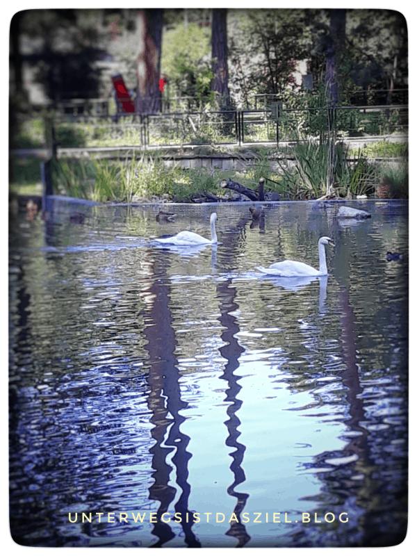 Schwäne im Tierpark lange Erlen