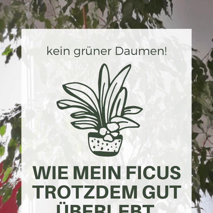 Birkenfeige: wie mein Ficus immernoch gut überlebt