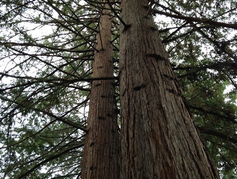 Redwoods in Redwood Grove Nature Preserve in Los Altos