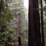 giant redwoods at Muir Woods