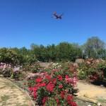 Roses at the Heritage Rose Garden in San Jose