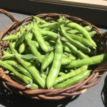 Fava beans from the Forge Garden, Santa Clara