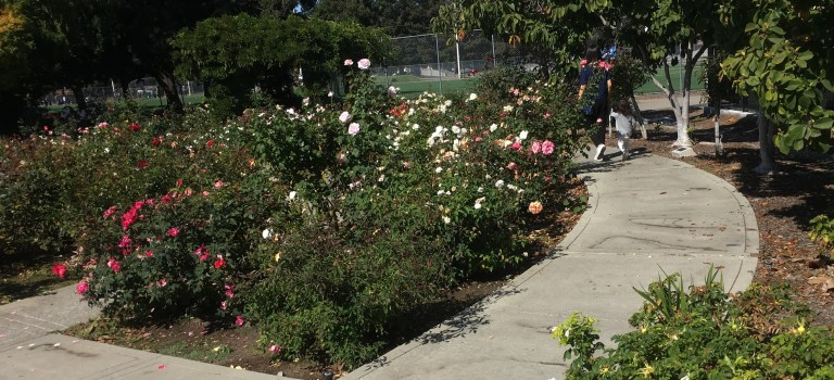 Discover the Redwood City rose garden