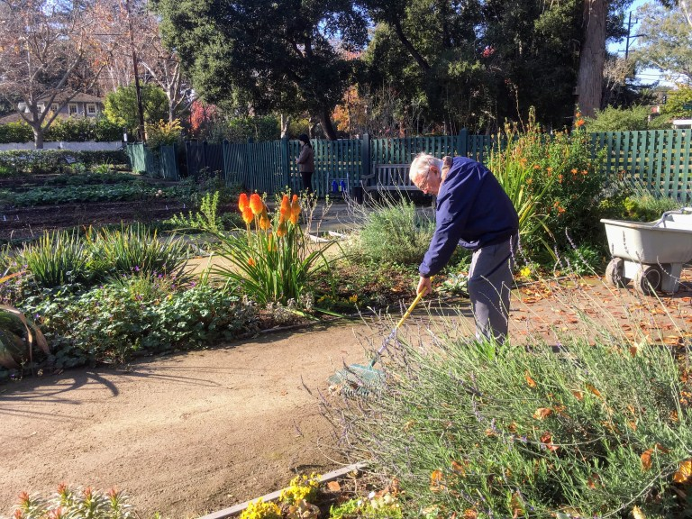 Volunteer raking at the Gamble Garden, Palo Alto.