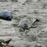 Female elephant seal taking a rest, Ano Nuevo