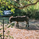 Buddy, a donkey at Bol Park.