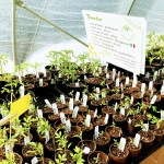 Tomato seedlings at Valley Verde. Sign lists available tomato varieties.