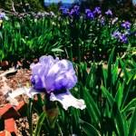 Iris at Nola's Iris Garden, San Jose.