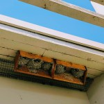 Cliff swallows peeking out of their nests at Baylands Park in Palo Alto.