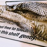 Snake skin. The sign says: Feel free to touch on this shelf gently.