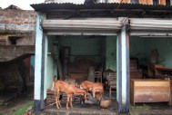 Goats and furniture Jessore-2