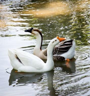 Bawm Village Geese