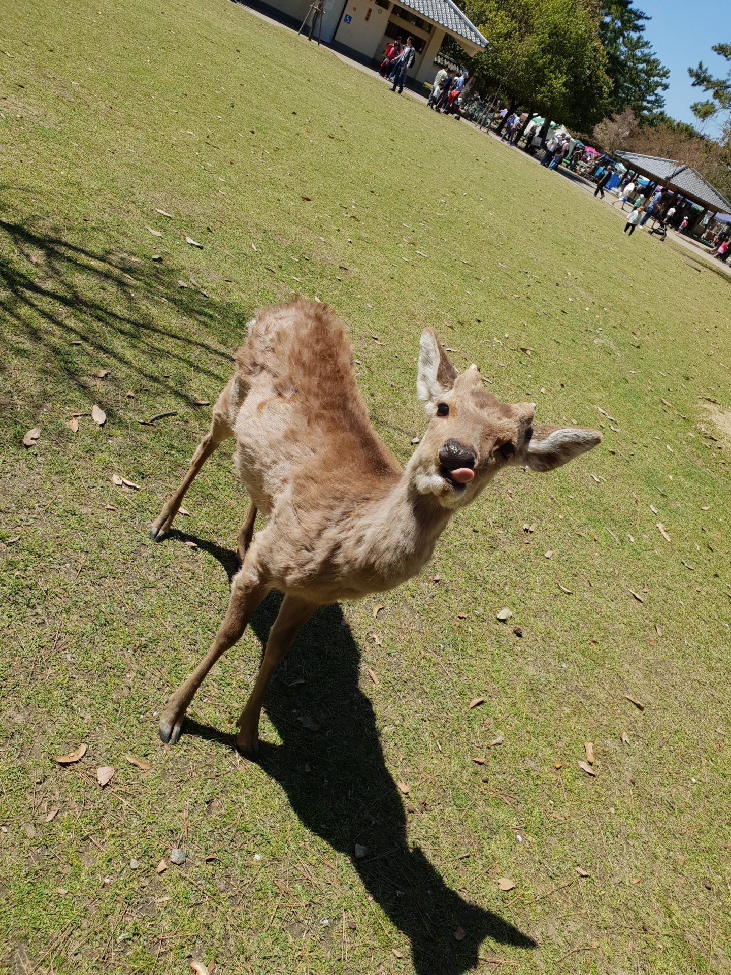 Deer at Nara park sticking tongue out