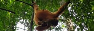 Bukit Lawang wild young orang utan learning to move across brarnches