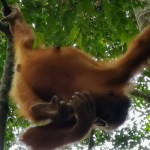 Bukit Lawang wild young orang utan learning to move across brarnches