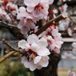 Cherry blossom flowers in Shibu Onsen