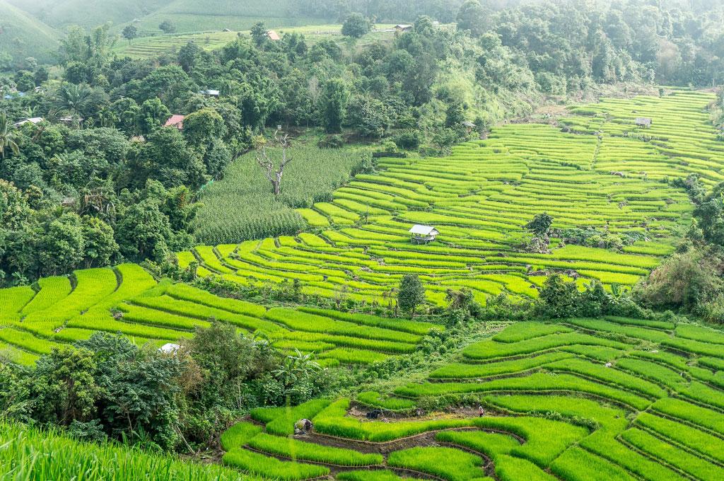 Terrazze con coltivazioni di riso nel nord della Thailandia