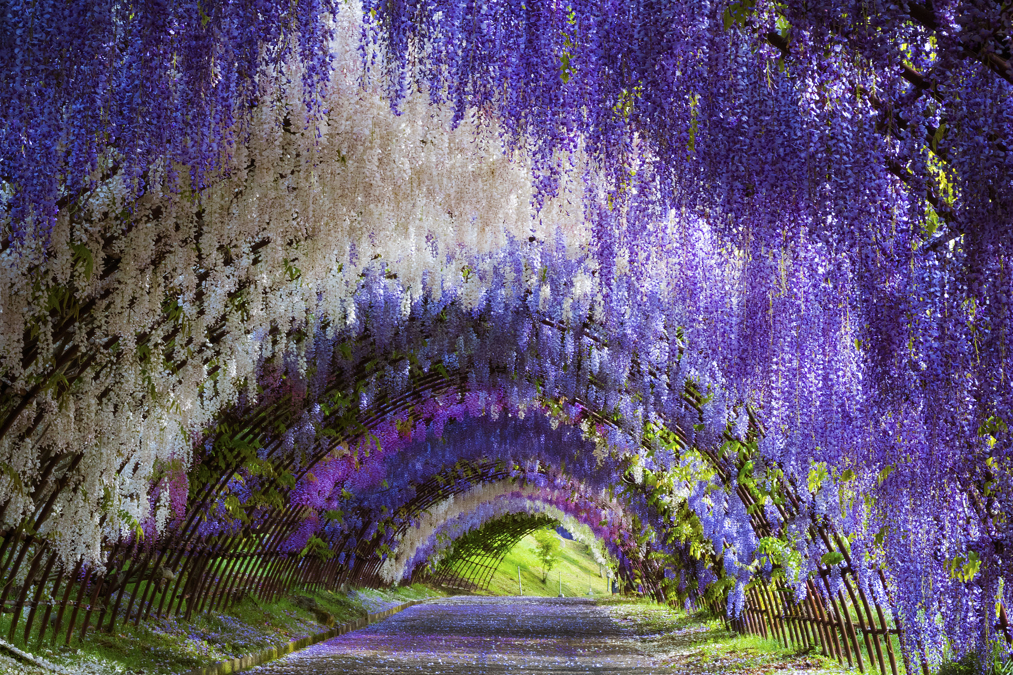 Wisteria Tunnel Of Kitakyushu Unusual Places