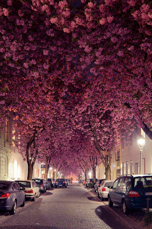 Cherry Blossom Tunnel, Germany