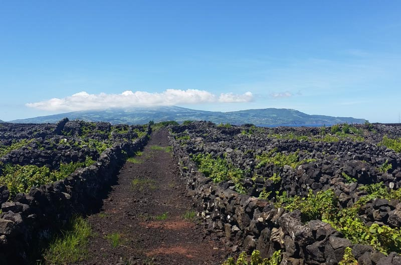 Viñedos en roca volcánica, isla terceira, azores.