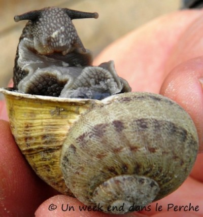 Les escargots du perche