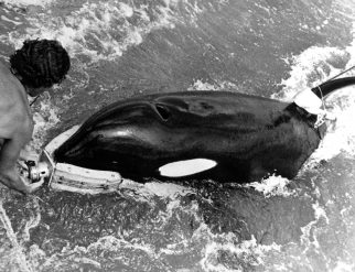 Ishmael, a killer whale, returns a grabber device to its trainer after successfully recovering a piece of inert ordnance during the Deep Ops project.