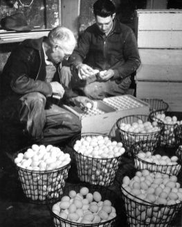 16-G-129-AAA-8208-W: Cache County, Utah. 12-41. Mr. Ballard and his son cleaning eggs in Cooling House. H.W. Ballard Farm.