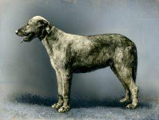 Irish Wolfhound (17-HD-1-P001)