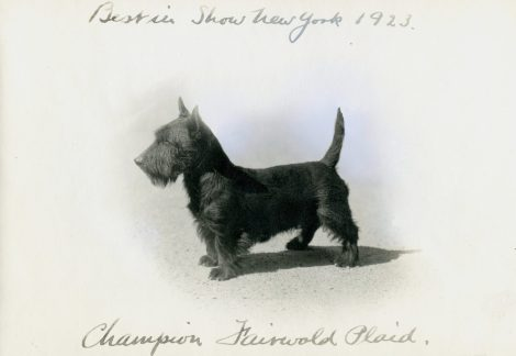 Scottish Terrier (17-HD-U002)