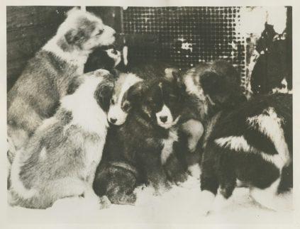 "Original Caption: ""True Southerners"" These Eskimo puppies were born in the South Polar region. Local identifier: XEJD-DE-02-02-10"